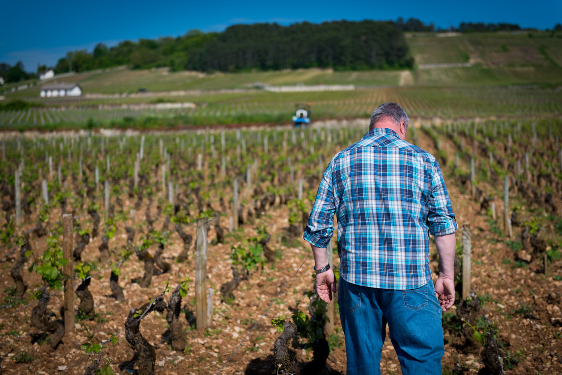 Voillot looks on in frustration at Fremiets Vineyard in Volnay